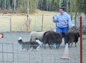 Gable herding (2)