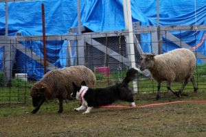 Flutter Herding Instinct Test (1)