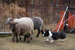 Flutter Herding Instinct Test (6)