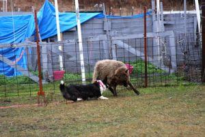 Flutter Herding Instinct Test (7)