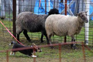 Tipsy Herding Instinct Test (4)