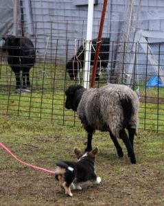 Tipsy Herding Instinct Test (8)
